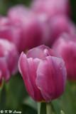 Tulip DSC_2237