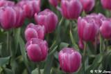 Tulip DSC_2241