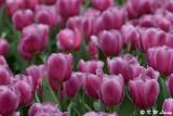 Tulip DSC_2288