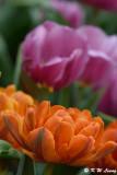 Tulip DSC_2294