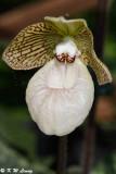 Orchid DSC_2133