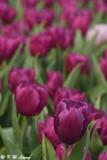 Tulip DSC_2264