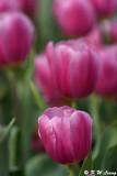 Tulip DSC_2236