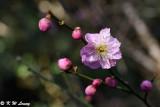 Plum blossom DSC_6241