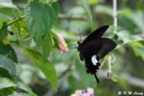 Papilio helenus DSC_4198