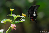 Papilio helenus DSC_1101