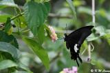 Papilio helenus DSC_4200