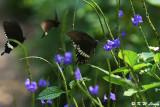 Papilio polytes DSC_4810