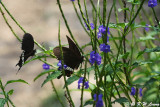 Papilio polytes DSC_4804