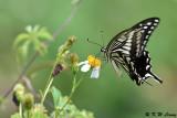 Papilio xuthus (柑橘鳳蝶)