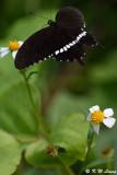 Papilio polytes DSC_4476