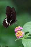 Papilio polytes DSC_4953