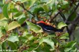 Scarlet-backed Flowerpecker DSC_0806