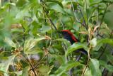 Scarlet-backed Flowerpecker DSC_0801