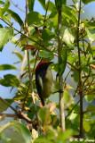 Scarlet-backed Flowerpecker DSC_0795