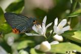 Choaspes benjaminii (Indian Awl King 綠弄蝶)