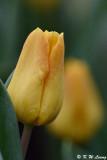 Tulip DSC_3927