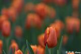 Tulip DSC_3934