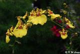 Orchid DSC_4015