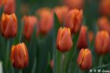 Tulips DSC_3931