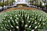 Tulips DSC_3936