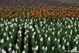 Tulips DSC_3944