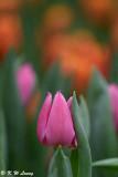 Tulip DSC_3957