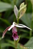 Orchid DSC_4101