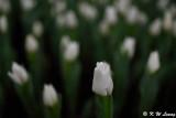 Tulip DSC_3947