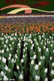 Tulips DSC_3939