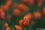 Tulip DSC_3932