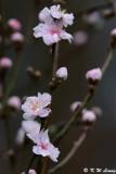 Plum blossom DSC_4092