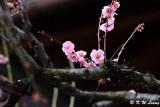 Plum blossom DSC_0069
