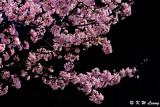 Sakura DSC_0417