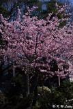 Sakura DSC_0438