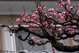 Plum blossom DSC_0055
