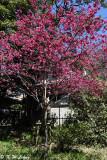 Prunus campanulata DSC_0381