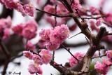 Plum blossom DSC_0075
