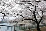 Sakura DSC_2590