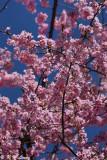 Sakura DSC_0425