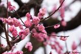 Plum blossom DSC_0070