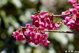 Prunus campanulata DSC_0387