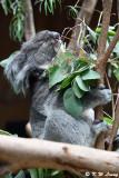 Koala DSC_6966