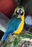 Blue and Yellow Macaw DSC_6904