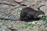 Kangaroo DSC_6978