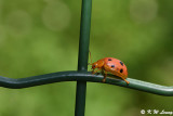 Lady Beetle DSC_0424