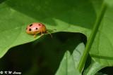Lady Beetle DSC_0450