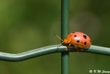 Lady Beetle DSC_0420