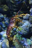 Lobster DSC_1343