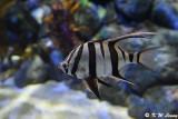 Angelfish DSC_1336